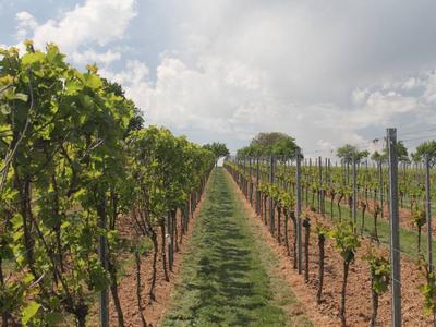 Sieht so die Zukunft des Weinbaus aus? (© Foto: Dr. Katja Herzog / Julius Kühn-Institut)